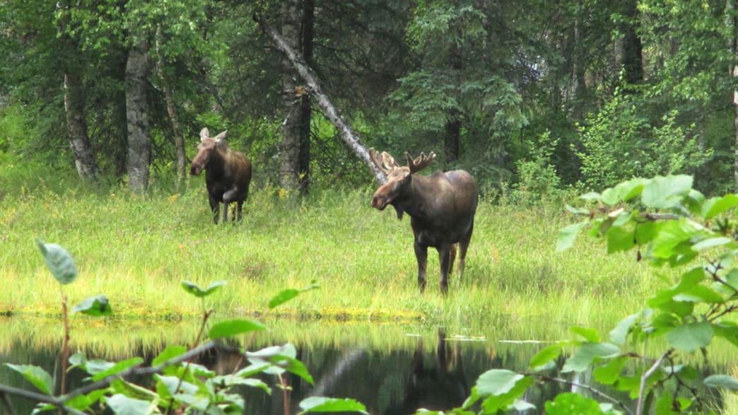 Zwei Elche zur Paarungszeit