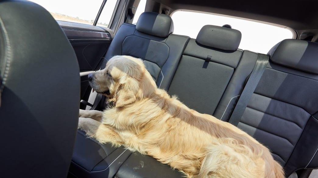 Ein Hund fährt im Auto auf der Rückbank mit ungesichert