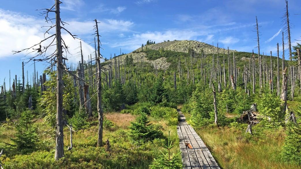 Ein Holzsteg führt führt über eine Wiese mit abgestorbenen Bäumen