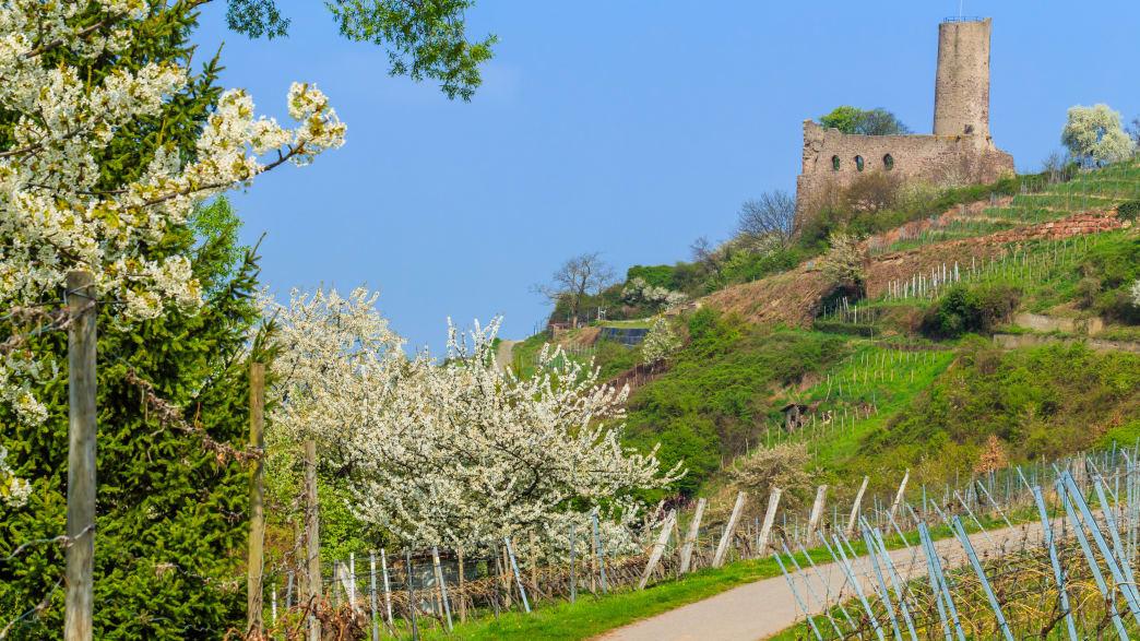 Burg Schriesheim auf einem Weinberg mit blühenden Obstbäumen