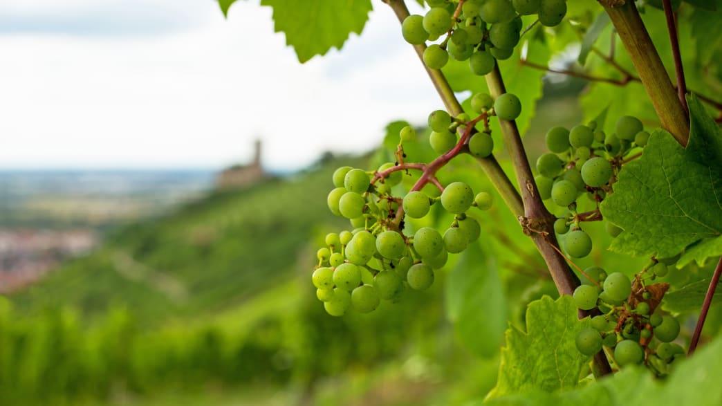 Nahaufnahme von grünen Weintrauben an einem Weinstock