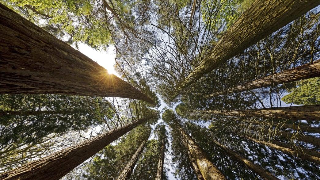 Riesige Mammutbäume, von unten in die Wipfel fotografiert.