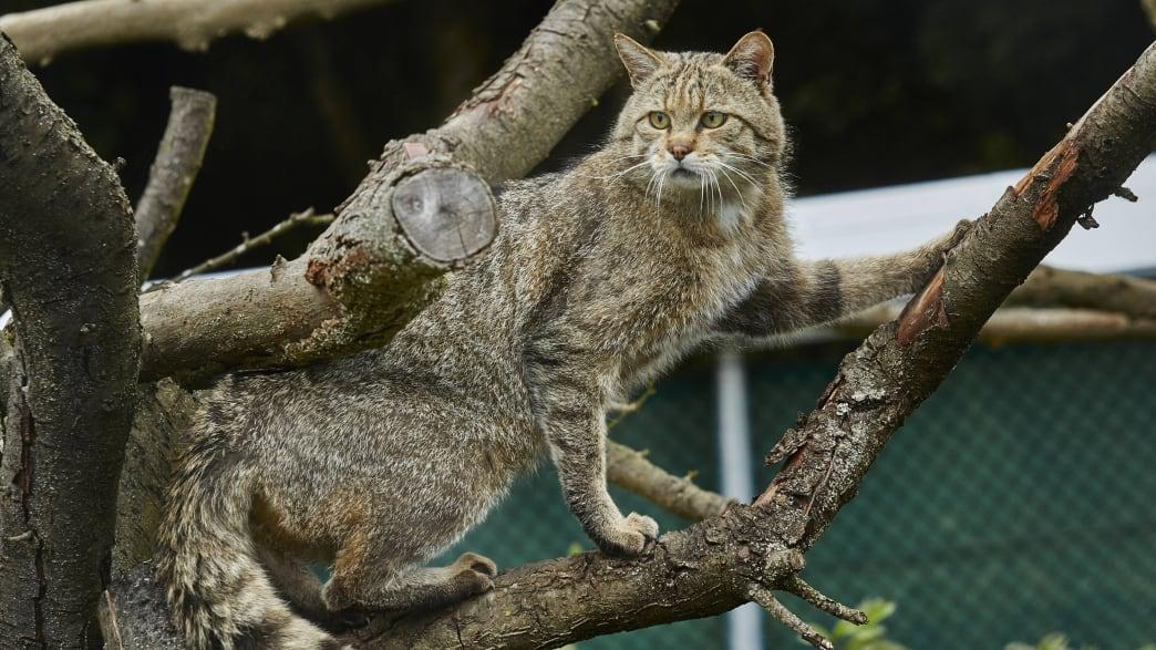 Eine Wildkatze sitz in einem Baum
