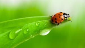 Marienkäfer krabbelt auf einem Blatt