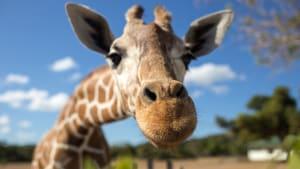 Giraffe schaut in Kamera