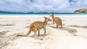 Zwei Kängurus sitzen an einem Strand am Meer