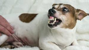 Ein Hund fletscht die Zähne bedrohlich