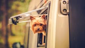 Ein kleiner Hund schaut aus einem Wohnmobil-Fenster