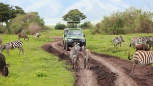 Ein Jeep fährt über eine unbefestigte Strasse in der Steppe, vor und neben dem Auto laufen und grasen Zebras.