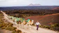 Hirte führt Dromedare zum Timanfaya-Nationalpark