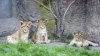 Löwennachwuchs im Zoo Leipzig