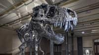 Skelett des Tyrannosaurus Rex Tristan Otto
