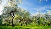 Blühende Apfelbäume auf einer grünen Wiese.