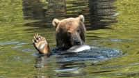 Braunbär isst einen Fisch im Wasser