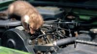 Ein Marder im Motorraum kann der Grund sein dass ein Auto nicht anspringt