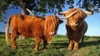 Zwei Highland-Ochsen stehen auf einer Wiese