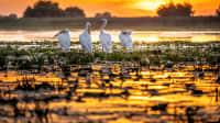 Eine Storchfamilie auf dem Donaudelta im Sonnenuntergang