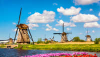 Blühende rote und pinke Tulpen in Holland vor einem Gewässer mit großen Windmühlen dahinter