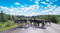 Rentiere auf einer Straße in Schwedisch-Lappland
