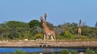 Zwei Giraffen am Namutoni-Wasserloch im Etosha-Nationalpark, Namibia, Afrika