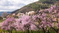 Mandelblüte in Gimmeldingen, Neustadt an der Weinstrasse
