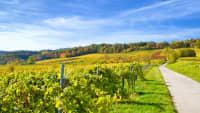 Weinberge an der Weinstraße in der Pfalz