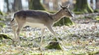 Ein junges Wildtier im Wildpark Allensbach am Bodensee