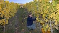 Eine Frau schneidet Weinstöcke