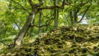 Blick auf die alten Knorreichen am Urwaldsteig Edersee in Hessen
