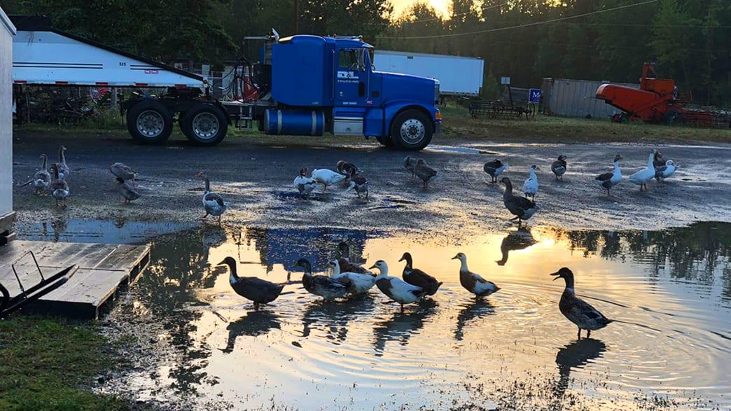 Freilaufende Enten auf einem Campingplatz