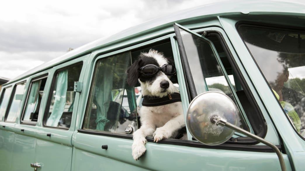 Hund hängt aus Fenster eines VW Bullis