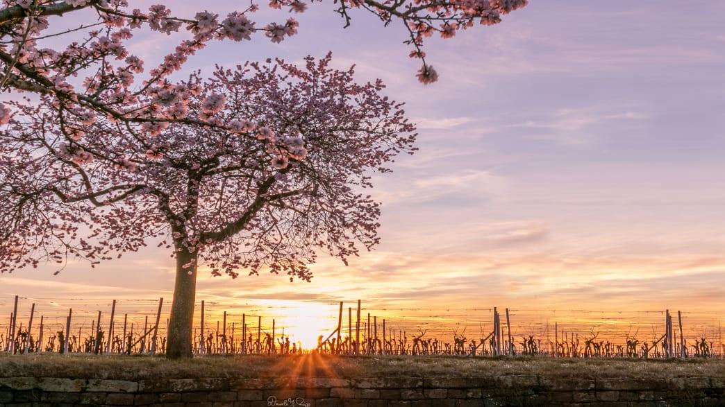 Die Mandelblüte im Frühling an der Deutschen Weinstrasse