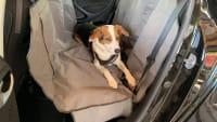 Ein Hund gesichert im Auto auf der Rückbank mit einem Gurt und angeschnallt