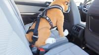 ADAC Test Tiersicherung ein Hundedummy angeschnallt auf der Rückbank eines Autos