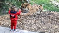 Kleines Mädchen steht vor Tigergehege im Zoo Münster