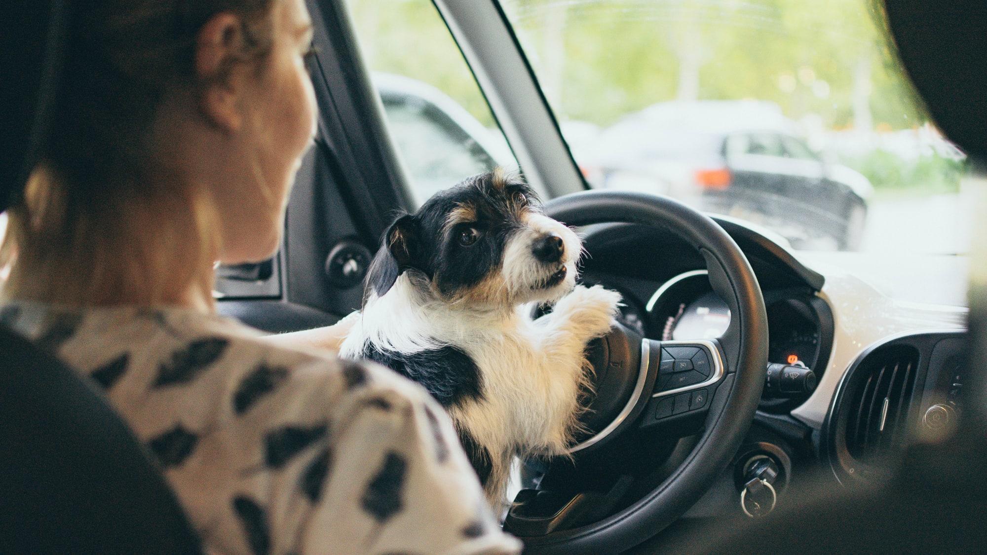 Frau fährt mit Hund am Schoß Auto