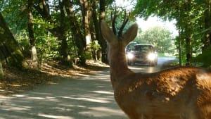 Auto fährt auf en Reh zu, das auf der Straße steht