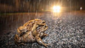 Kröten überqueren die Straße im Regen und drohen von einem Auto überfahren zu werden