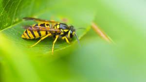 Wespe sitzt auf Blatt