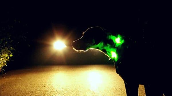 Hund mit Leuchthalsband im Dunkeln