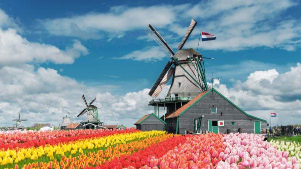 Windmühlen udn Tulpenfeld in den Niederlanden