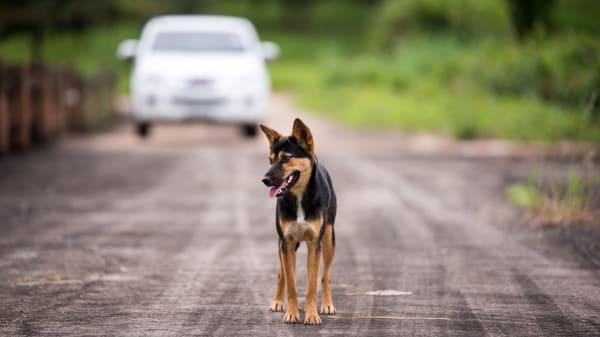 Hund läuft auf Straße, Auto nähert sich
